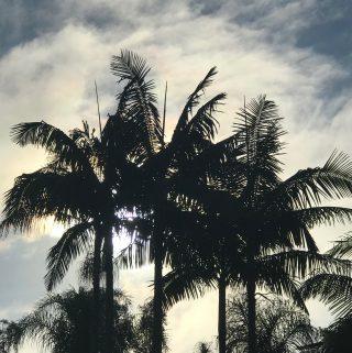 San Diego Palm Trees